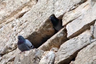 יונה בחגווי הסלע (צילום: קרן פרימן)