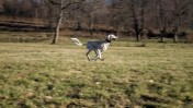 כלב סלוקי (צילום: Thomas Mueller, רישיון: CC BY-ND 2.0)