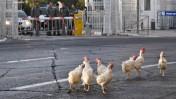 תרנגולים ששיחררו סטודנטים ליד מעונו של ראש הממשלה כמחאה על תקצוב בני ישיבות. אוקטובר 2010 (צילום: יואב ארי דודקביץ')