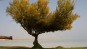 מנופי ארצנו: עץ בודד על חוף ים המלח (צילום: חן ליאופולד)