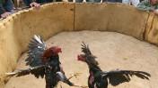 קרב תרנגולים. הוד-השרון, דצמבר 2008 (צילום: אסף פרידמן)