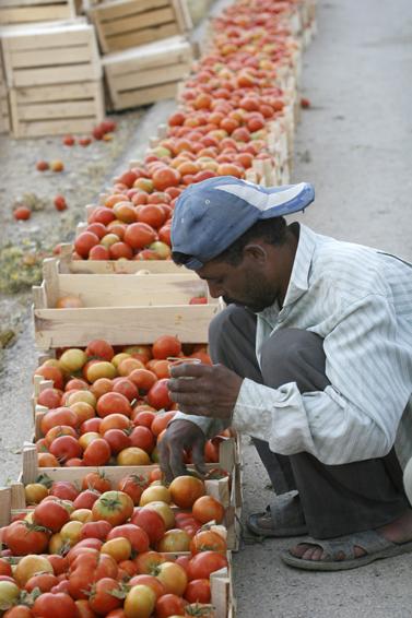 פועל אורז עגבניות, ירדן 2007 (פלאש 90)
