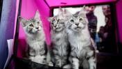 תערוכת חתולים, אתמול בראשון-לציון (צילום: דימה וזינוביץ')