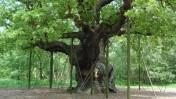 עץ אלון ביער שרווד (צילום: Chris Guise, רשיון cc-by-nc-sa 2.0)