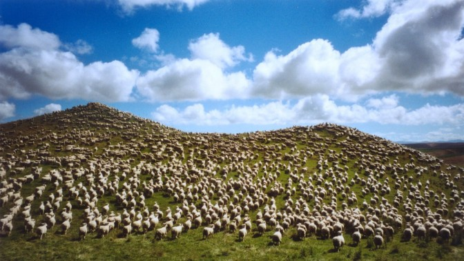 כבשים בניו-זילנד (צילום: vtveen, רשיון cc-by-nc-nd 2.0)