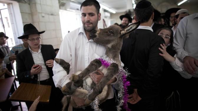 יהודים מתכוננים לקיום מצוות פדיון פטר חמור. ירושלים, 28.3.2013 (צילום: יונתן זינדל)