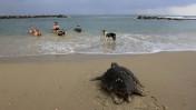 צב ים עושה דרכו אל הים התיכון בחוף גבעת-אולגה, אתמול (צילום: צפריר אביוב)