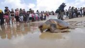 צבי ים משוחררים לחופשי בחוף בית-ינאי, אתמול (צילום: גיל יערי)