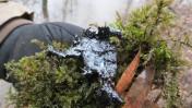 עץ מזוהם בזפת שנשפכה כתוצאה מדליפה בצינור נפט של חברת אקסון, ליד מייפלאואר, ארקנסו, 2.4.13 (צילום: NWFblogs, רישיון cc-by-nc-nd)