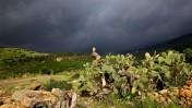 שיחי צבר בחורף. צפון ישראל, 2011 (צילום: דורון הורוביץ)