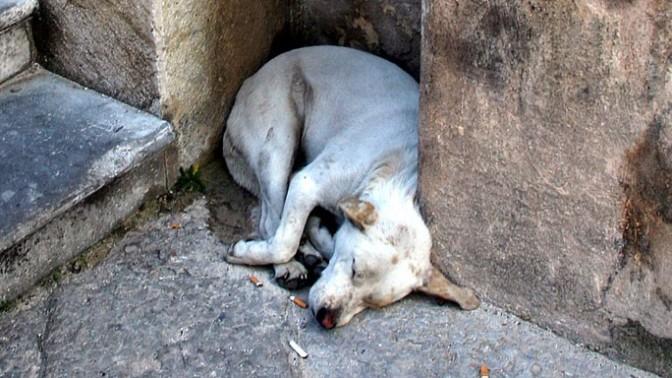 כלב בפלרמו, סיציליה (צילום: חיים שוחט)