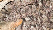 עטלפים ישראלים, 9.10.06 (צילום: חורחה נובומינסקי)