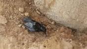 """גויית ציפור באתר דליפת הנפט מצינורות קצא""""א בערבה, 10.12.14 (צילום: שחר יששכרוב, המשרד להגנת הסביבה)"""