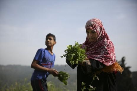 אם ובנה קוטפים עשבים. בתיר, הרשות הפלסטינית, 12.4.14 (צילום: הדס פרוש)