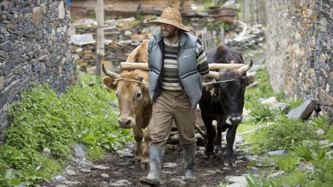 חקלאי גיאורגי מוליך בני בקר בכפר בהרי הקווקז (צילום: משה שי)
