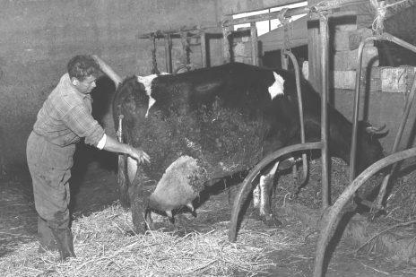 """הרפתן שלמה ישראלי עם הפרה שושנה, המניבה 40 ליטר חלב ליום. מושב בוסתן-הגליל, 1.2.1962 (צילום: לע""""מ)"""