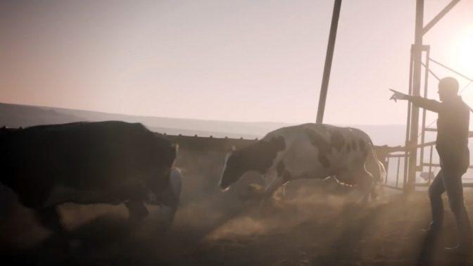 """מוציאים את הפרות בשעטה מהרפת, מתוך סרטון הפרסומת של תנובה ל""""חלב משק"""" (צילום מסך)"""