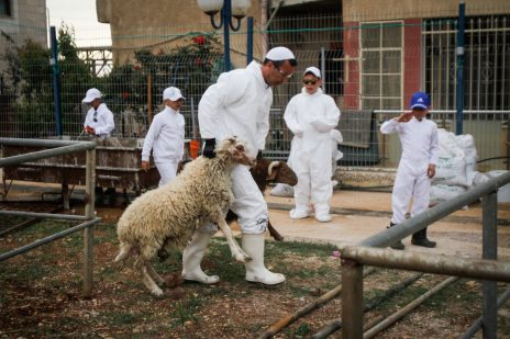 כבשים מובלות לשחיטה לקראת טקס שומרוני בהר גריזים. 10.4.17 (צילום: נאסר אישטיה)
