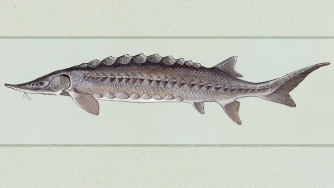 דג חדקן (נחלת הכלל)