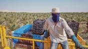 פועל חקלאי מתאילנד במטע ישראלי (צילום: פלאש90)