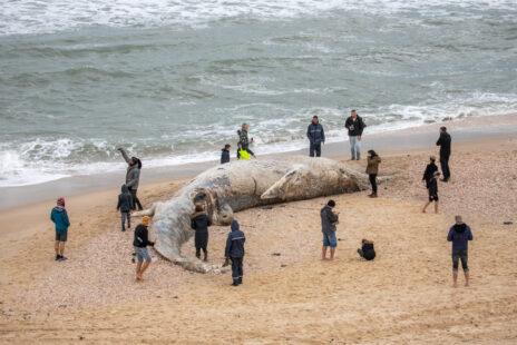 גופת לוויתן בחוף ניצנים, 19.2.21 (צילום: יוסי אלוני)