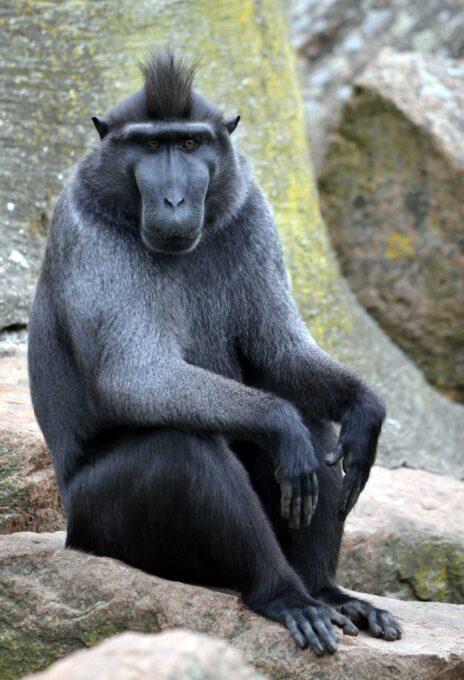קוף ממין מקוק שחור בגן חיות בהולנד (צילום: טים סטראטר, רישיון CC BY-SA 2.0)