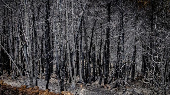 עצים לאחר שריפת הענק בהרי ירושלים, 18.8.2021 (צילום: אוליבייה פיטוסי)